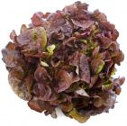 Oak Leaf Salad Red